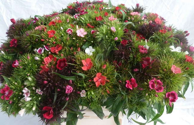 dianthus barb mix